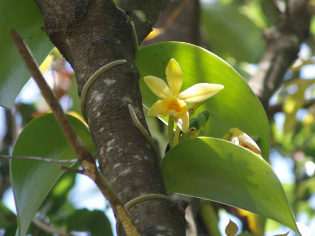 vanília orchidea