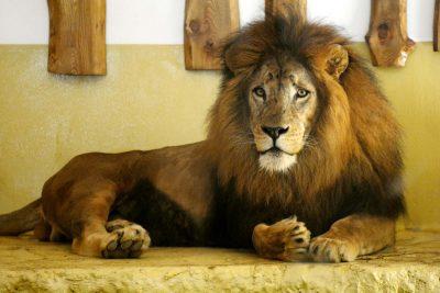 miskolc, miskolci állatkert, zeusz, oroszlán, száhel, zoo, program, proramajánló, ruzs es mas